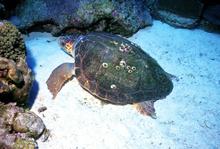 An immature loggerhead sea turtle found in Flower Gardens National Marine Sanctuary. Credit: P. Schmahl.