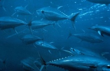 bluefin tuna school.jpg
