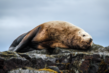 Steller sea lion on resting on a rock.