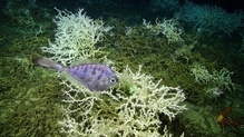 Thorny tinselfsh swimming above dense deep sea coral mounds at 500 meters depth on the West Florida Slope.