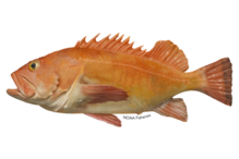 Yelloweye rockfish illustration.