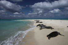 Basking sea turtles on the shores of French Frigate Shoals.