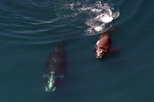 Right whale mother and calf.