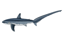 Atlantic common thresher shark