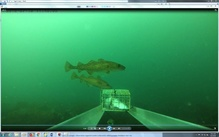 Age-1 Pacific cod are much larger (15-20 cm) and are more common at deeper depths. This set was deployed along at 10 m.