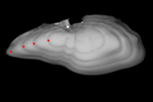 Image of an earstone from a haddock, with dots to show the positions of the winter zones.
