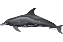 Rough-toothed dolphin illustration.