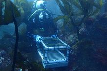 Diver underwater holding a pvc cage with a concrete base in kelp forest