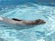 Monk seal in pool