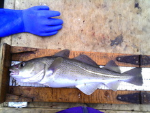Cod being measured on a ruler