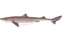 illustration of Atlantic spiny dogfish
