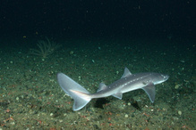 Spiny dogfish.