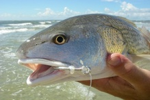 Red drum with circle hook in lip.
