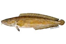 Cusk fish illustration