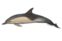 Short-beaked common dolphin illustration