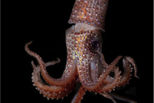 A strawberry squid from the mid-water ocean depths.  Photo: NOAA Fisheries-