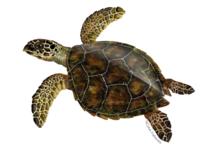 640x427-green-turtle.png