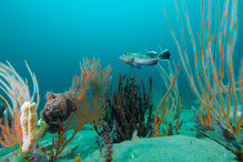 Black seabass swims in Gray's Reef National Marine Sanctuary