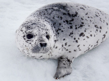 Ice Seal, Spotted Seal.
