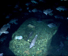 Dark rockfish and northern rockfish schooling in rocky habitat.