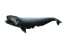 North Atlantic right whale illustration.