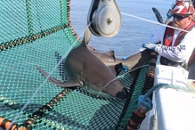 "NOAA Fisheries chief scientist William ""Trey"" Driggers and a sandbar shark caught in the Gulf of Mexico. Credit: NOAA Fisheries."
