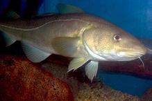 Atlantic cod.