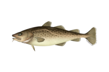 pacific cod illustration