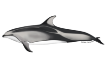Pacific white-sided dolphin illustration