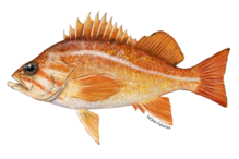 Illustration of canary rockfish.