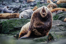 Steller Sea Lion, Kuril Islands, Lovushki Dolgaya E jub
