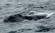 An eastern North Pacific right whale surfacing for air.