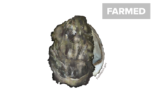 Pacific oyster illustration