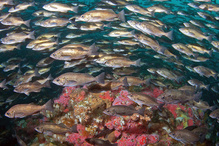 Fish in Cordell Bank National Marine Sanctuary.