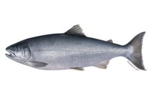Coho salmon illustration