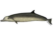 Illustration of Longman's beaked whale