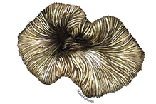 Illustration of Cantharellus noumeae coral