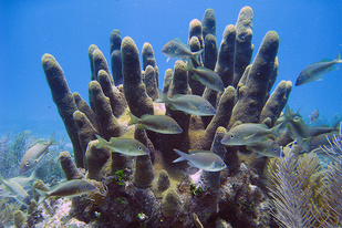 Pillar coral with fish