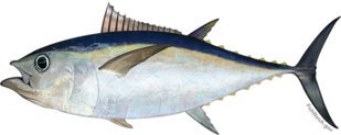 Image of Pacific bigeye tuna