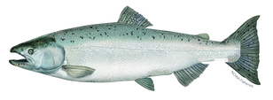 chinook_salmon_illustration