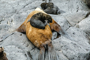 California sea lion mother and pup