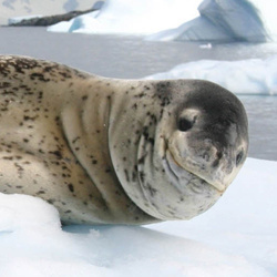 Leopard seal hauled out on the ice.