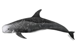 Risso's dolphin illustration