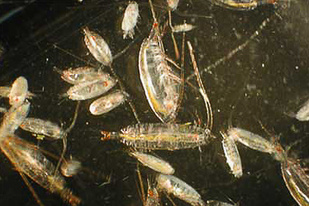 Bering Sea Copepods
