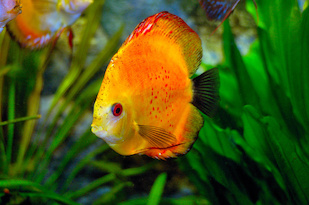 A Discus (Symphysodon discus), one of three Amazonian cichlid fish species found to be visually adapted to the red-shifted light conditions of the Amazon basin. Image credit: Wikimedia Commons/Stanislav Doronenko (Click image to download hi-res version.)