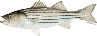 Atlantic striped bass