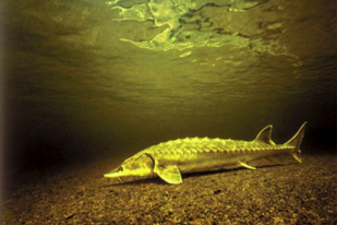 Shortnose sturgeon underwater