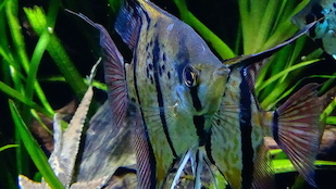 A freshwater Angelfish (Pterophyllum scalare), one of three Amazonian cichlid fish species found to be visually adapted to the red-shifted light conditions of the Amazon basin. Image credit: Wikimedia Commons/Loury Cedric (Click image to download hi-res version.)
