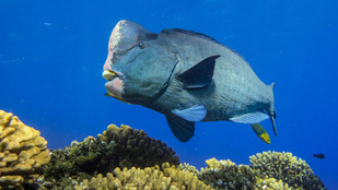 Bumphead parrotfish at Wake Atoll.