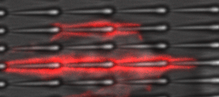 A single-celled amoeba, <i>Dictyostelium discoideum</i>, can be seen moving along a row of nanoscale sawtooth-shaped features that can guide the cell's motion in a preferred direction—in this case from left to right. The red dye shows chains of actin, a protein that makes up the cell's internal skeleton and enables the cell to change shape. Image credit: J. Fourkas/W. Losert (click image to download hi-res version.)